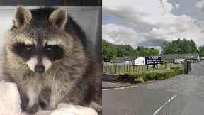 Raccoon Lanarkshire