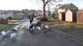 Brian Moodie, the turkey man, walks his birds around Falkirk