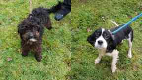 Dogs: They were found in a cage. A71 Lanarkshire