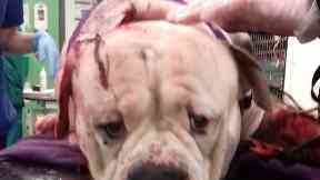 Stabbed: Dog was left bleeding heavily.