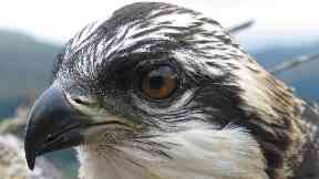 Ospreys Louis and Aila return to nest in Loch Arkaig, Lochaber April 2019