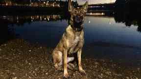 Amber, police dog