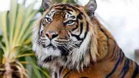 Tiger: Sumatran tiger Jambi was 16 years old. Edinburgh Zoo
