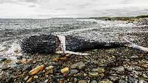 Whale: The animal was found dead wrapped in fishing gear.