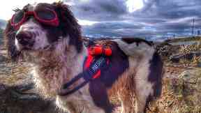 English Springer Spaniel Mac joins SFRS as search and rescue dog