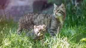 Wildcats to be released in Scotland in 2022