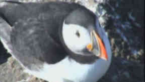 Puffin: The birds breed on the island of Craigleith every year.