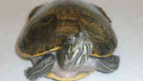 Terrapin: Among the exotic creatures being abandoned.