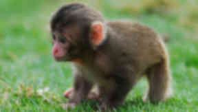 Baby snow monkeys at Highland Wildlife Park.