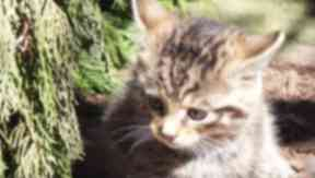 Scottish wildcat kitten at Highland wildlife park