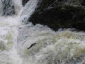 A leaping salmon at Falls of Feugh.