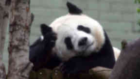 Panda: The decision was made not to breed the pandas this year.