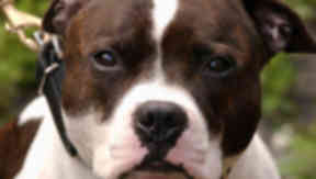 Staffie: A similar dog was off its leash when it pounced.