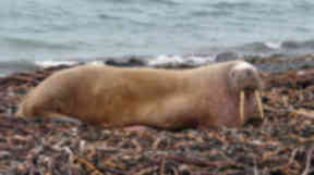 Walrus found on North Ronaldsay beach in Orkney on March 3 2013