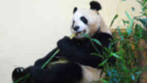 Tian Tian: The female panda played in the hay.