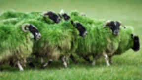 Sheep: The flock have been dyed green.