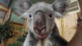 Koala taking a selfie at Edinburgh Zoo.