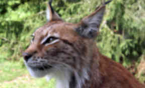 Lynx: Big cats were hunted to extinction 1300 years ago.