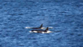 Killer whales spotted off the Isle of May in the Firth on May 28, 2014. Pic from Stuart Rivers, given by SNH.