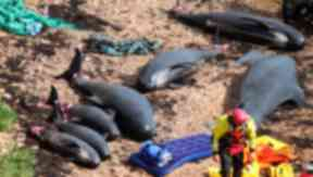 Pilot whales: Mammals became stranded in Fife in 2012