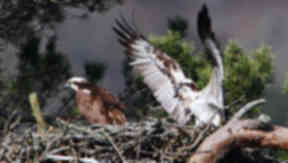 Osprey surprises keepers after laying 64th egg