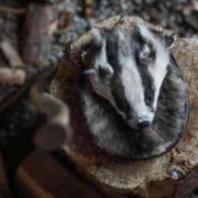 Emma is inundated by 'suicidal' badgers