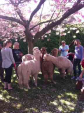 Some alpacas have visited local hospices.