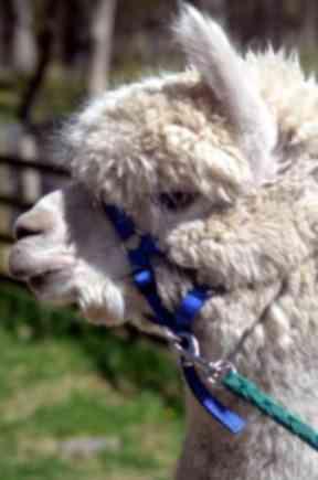 Alpacas are kept primarily for their fleece.