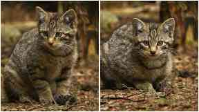 Scottish Wildcats: New arrivals welcomed at Highland Wildlife Park.