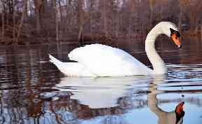 Swan: The bird was rescued by a man and woman in Stranraer.