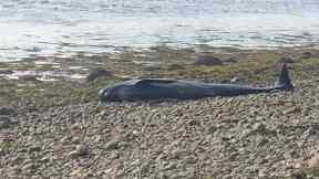 Beached: The Pilot whale was washed onshore.