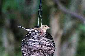 A bird captured at Loch Spynie near Elgin.