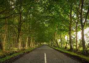 Trees stretching across the road at Stravithie near St Andrews.