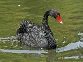 Animal fan Tommy would love to see a black swan.