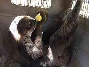 Mo the sloth enjoys some corn at Monroe County Jail.