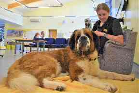 Jackson the St Bernard is looking for a family.