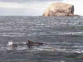 Bass Rock and a curious bottlenosed dolphin.