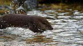 Back to nature: Otters set free at Highland loch.