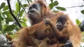 There are only 800 Tapanuli orangutans.