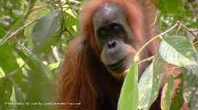 Up until 1996, there was only thought to be one species of orangutan.