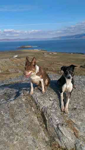 Collies Eilidh and Opie on Dun I, Iona's highest hill.