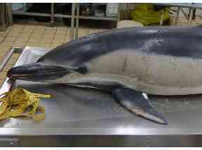 The body of the dolphin was found washed up on the banks of the river in Wandsworth.