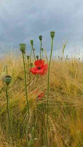 A bright red poppy found hidden among the barley near St Andrews.