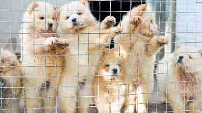 Chow Chows which have been smuggled in to the UK