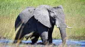 The number of African elephants has shrunk from about 5 million a century ago to about 400,000 remaining.