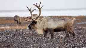 In the worst previous 12-month period, 250 reindeer were killed.