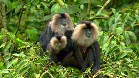 Death: Lion-tailed macaques are very sociable animals.