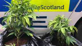 Cannabis: Officers pulled plants out of ground.
