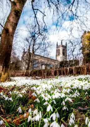 Snowdrops can appear en masse, carpeting grassy areas.