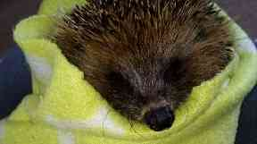 Little hoglets: The hedgehog hospital needs dry bedding and food.